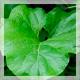 Народные мочегонные средства: растения, продукты (ягоды, фрукты), напитки, отвары и сборы, гомеопатия